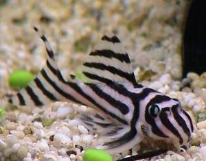 pesce-zebra